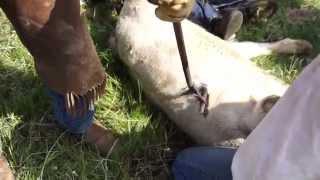 Wisness Cattle Branding