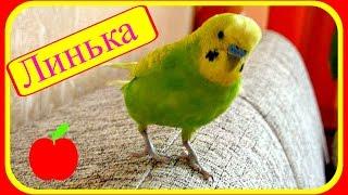 VLOG:Линька у волнистого попугая//Уход за волнистым попугаем