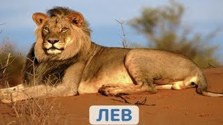 ДИКИЕ ЖИВОТНЫЕ   Wild Animals   Учим названия диких зверей   ИГРА ДЛЯ ДЕТЕЙ