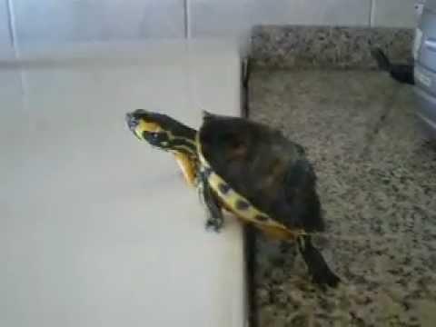 Turtle - Trachemys Scripta Scripta