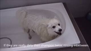 How to wash a Spitz