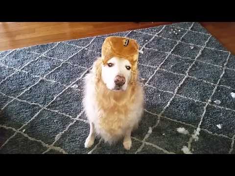 Funny Dog Wearing a Torn Up Plush Toy as a Fur Hat - English Cream Golden Retriever