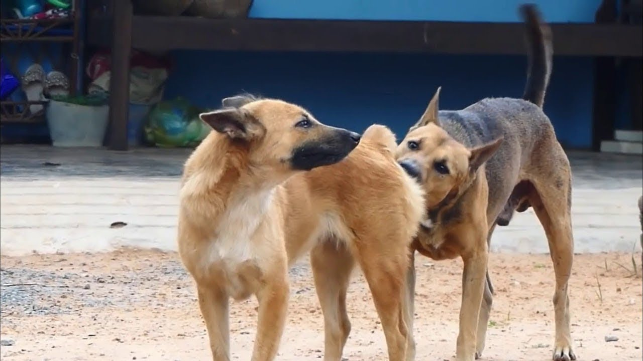 mrblaze1711 #028   Thai street Dogs meeting Enjoy a season by rural dogs - Village Dogs Mating