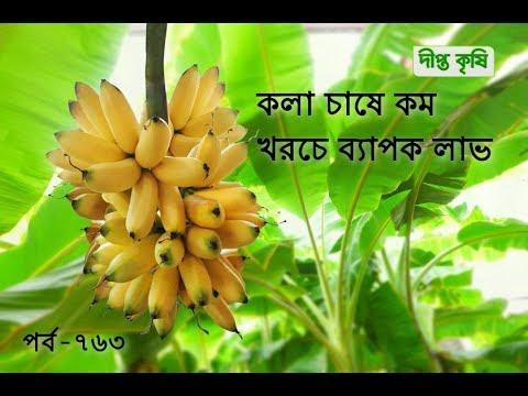 Deepto Krishi/দীপ্ত কৃষি- কলা চাষে কম খরচে ব্যাপক লাভ | চাঁপাইনবাবগঞ্জ | deepto tv