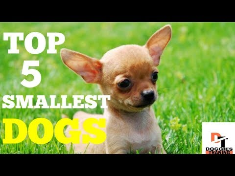 TOP 5 SMALLEST DOGS ||DOGGIES TRAINING