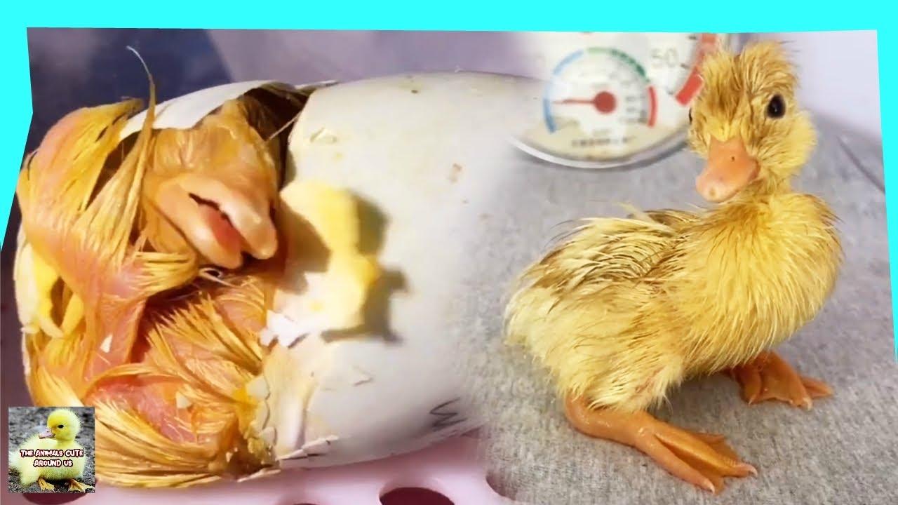 Duck Eggs Hatch - Cute Duck - Cute Animals Around Us
