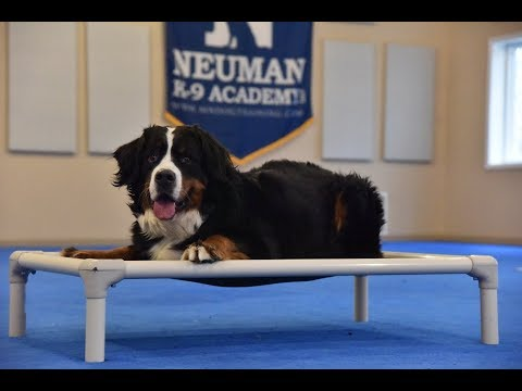 August (Bernese Mountain Dog) Boot Camp Dog Training Video Demonstration