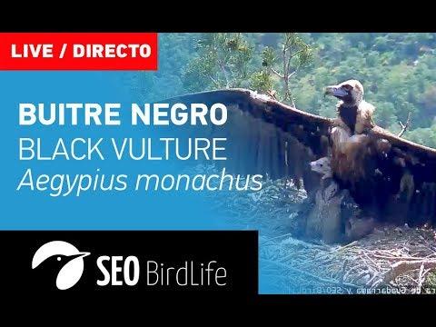 Buitre Negro - Rascafría - SEO/BirdLife