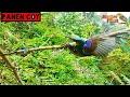 Pikat Kolibri Wulung Dapat Banyak  Mp3 - Mp4 Download