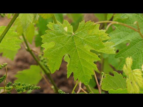 Закарпатський винороб розповів як врятувати врожай від заморозків