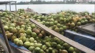 bán dừa xiêm bến tre giá sỉ, cung cấp dừa xiêm xuất khẩu,dừa khô, dừa ta