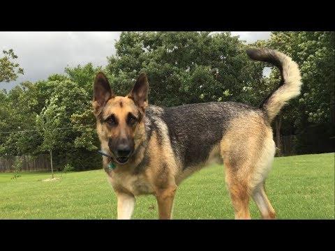 German Shepherd will not leave his Yard to Play