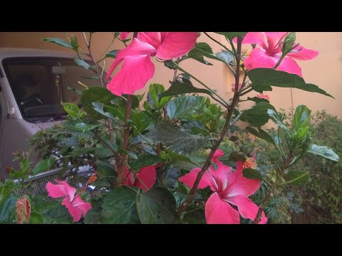 How to fertilize hibiscus to get more blooms (about it's food)