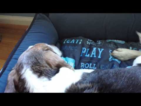 P.L.A.Y. Dog's Life Lounge Bed product review, video 2