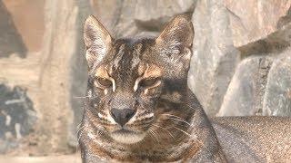 Самая редкая кошка в мире, Asiatic  golden cat - азиатская золотая кошка