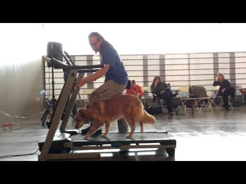 Treadmill Training Dog, How To Dog Training Session 1