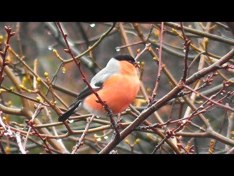 Птицы снегири и синица на дереве за окном