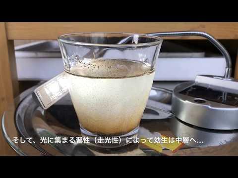 ブラインシュリンプ皿式給餌に挑戦