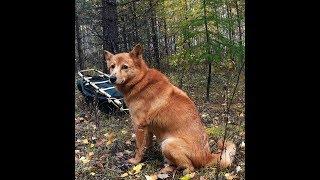 КФЛ От щенка до рабочей собаки Не долог собачий век Лайки не долгожители