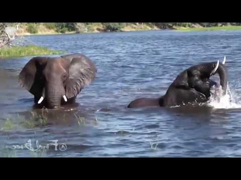 Amazing Crocodile Kill and Eat Baby Elephant When To Swim Across The River