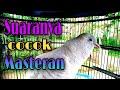 Suara Perkutut Putih Gacor Cocok Untuk Masteran  Mp3 - Mp4 Download