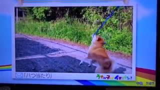 ぽちたまで放送されました。 柴犬イチローブログ2 http://ichiro-chiba2...
