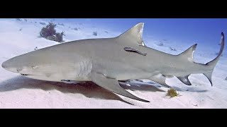 Shark on beach -spinner or lemon? Clears beach swimmers so they won