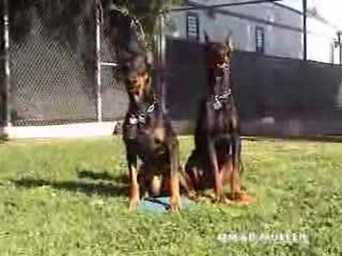 All stars doberman team
