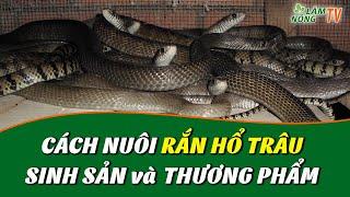 Hướng dẫn Nuôi Rắn Hổ Hành Mới Nhất Hiện Nay | Cách nuôi Rắn Ráo Trâu | Kỹ thuật nuôi Rắn Hổ Trâu