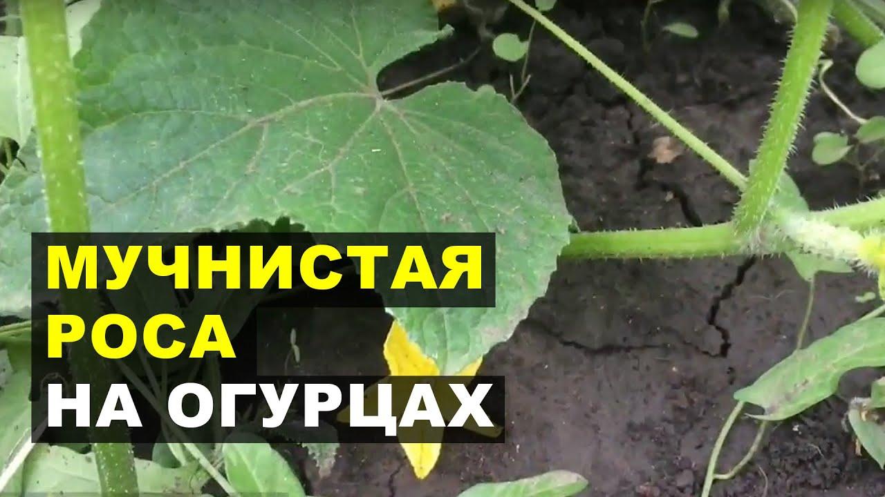 Ложная мучнистая роса на огурцах - YouTube