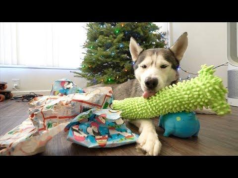 Husky Opens His Christmas Presents!