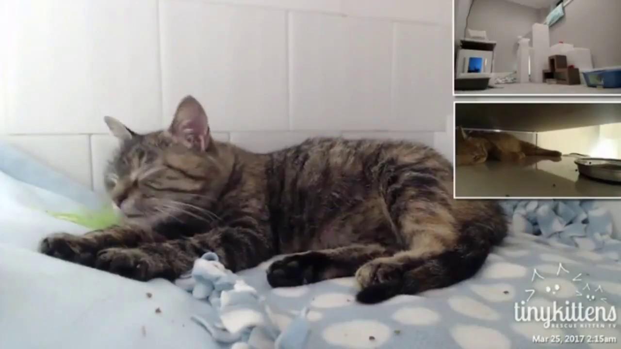 munchkin curl cat