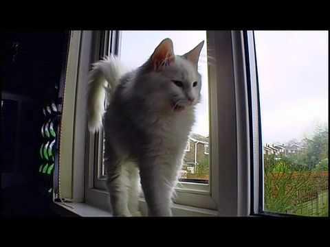 Norwegian Forest Cat fun
