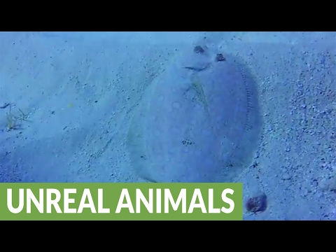Beautiful peacock flounder becomes almost invisible