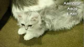Sleepy Kittens Cleaning! Mochi and Mimi - Napoleon Munchkin Kittens