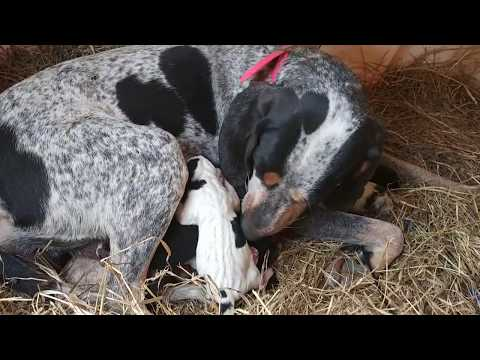 Bluetick x Black and Tan Coonhound mix puppies born Oct 22, 2017