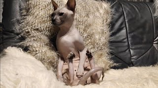 Funny Cat Ramses Relaxing on the SofaDon Sphynx