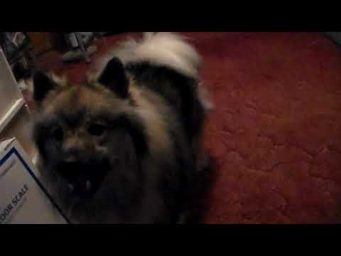 Keeshond Dog Dulcinea at One and Half Years Old