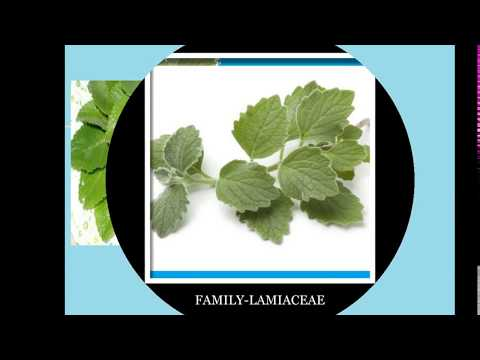 Queen of Herbs -Coleus aromaticus,indian borage herb