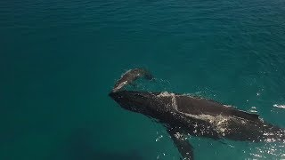 67 - We Witnessed The First Breaths of a Humpback Calf!