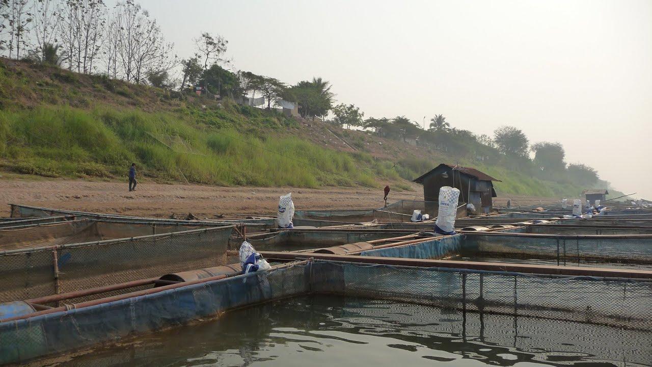 Feeding Tilapia At Vientiane Fish Farm Youtube