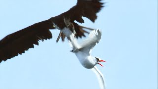 Sea Birds Battle In The Air For Fish | Life | BBC Earth