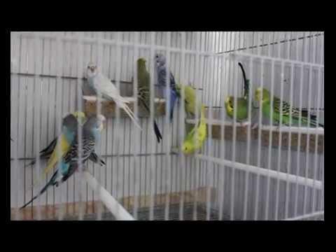 Periquitos, bellos pájaros con multitud de colores