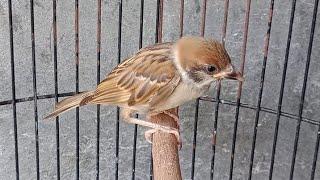 Suara Masteran Tembakan Burung Gereja Paling Dicari Untuk Isian Murai Batu , Kacer , Pleci , Konin