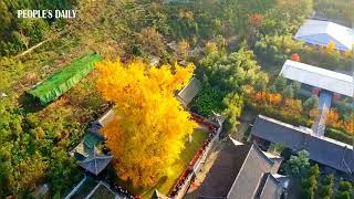 1,400-year-old Ginkgo tree planted in an ancient Chinese Buddhist temple