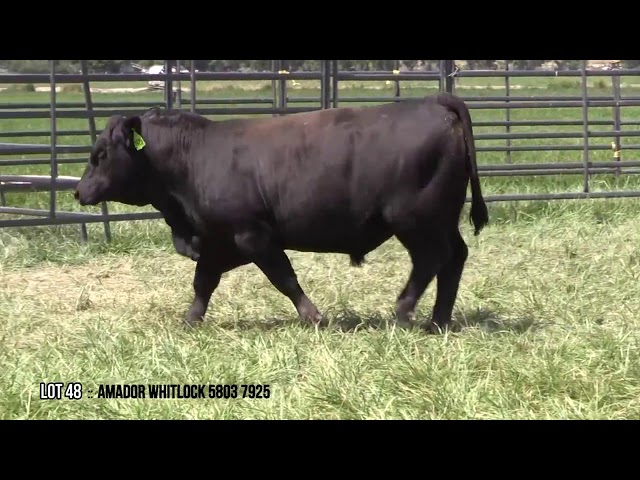 Mid Valley Bull Sale Lot 48