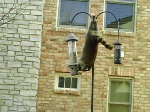 Gangsta Raccoon Steals Cat Food
