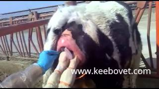 Bovine Partus - Cow Having Hard Time Delivering Baby - Veterinarians Helps