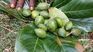 Farm Fresh Almond Cutting And Eating  In My Village| Healthy Village food