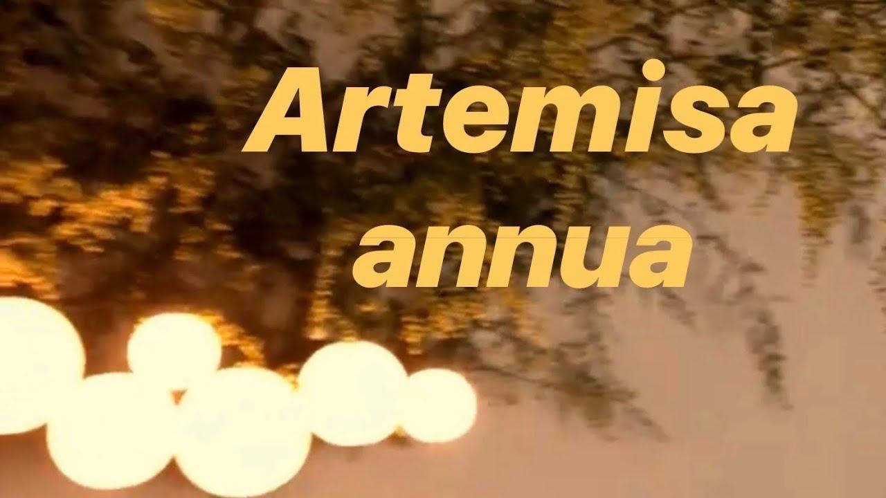 artemisa infusion